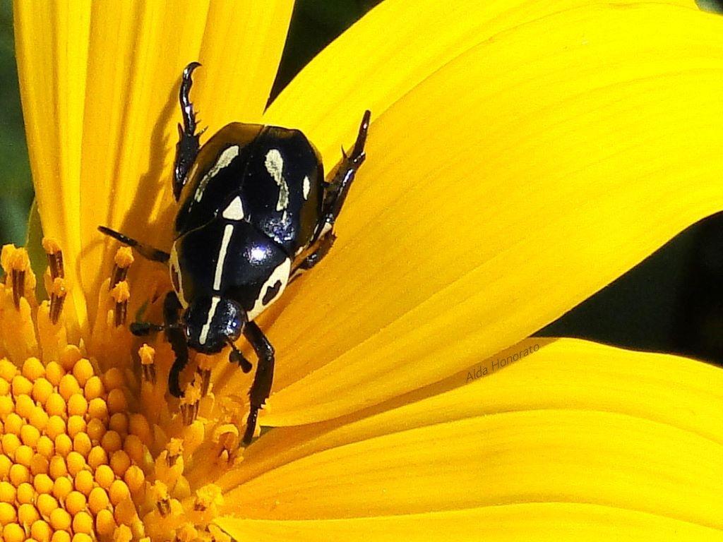 O besouro e a flor